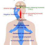 Thyroid's Dramatic  Effect on Brain Function and Health